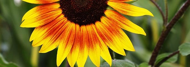 mental health matters sunflower